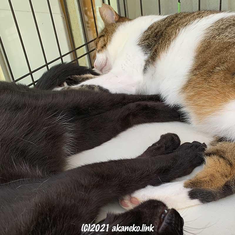 外ケージで昼寝中の2匹の猫