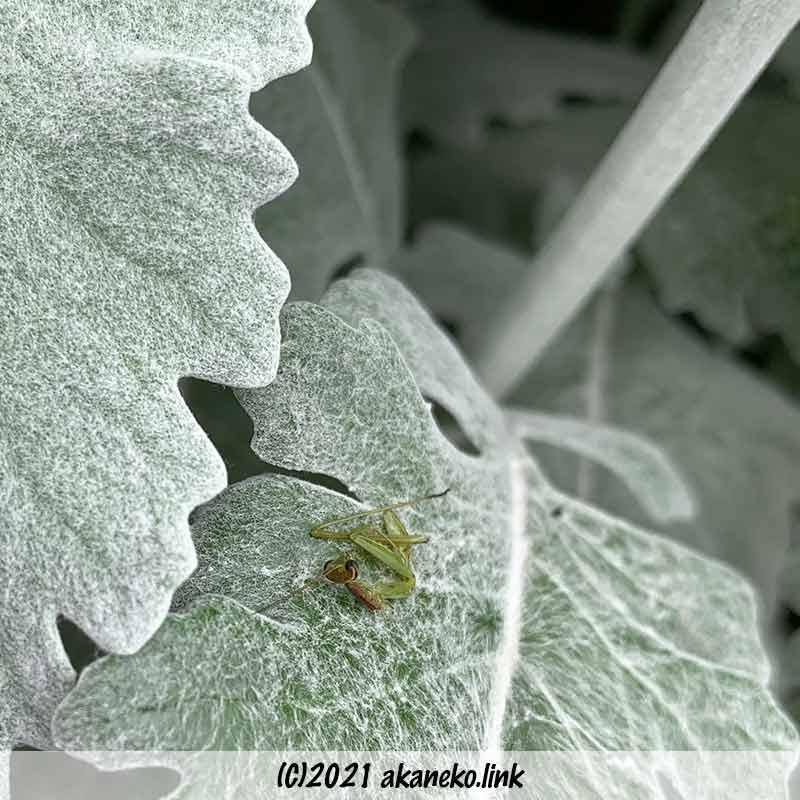 頭と前足を残して喰われたカマキリの幼虫
