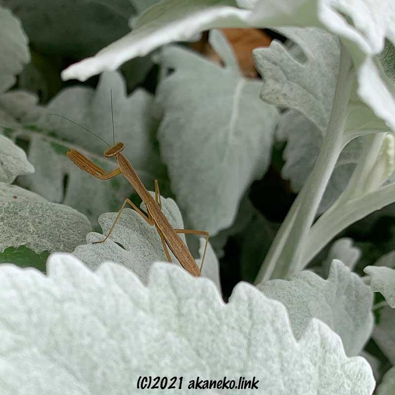 シロタエギクの茂みのカマキリの幼虫