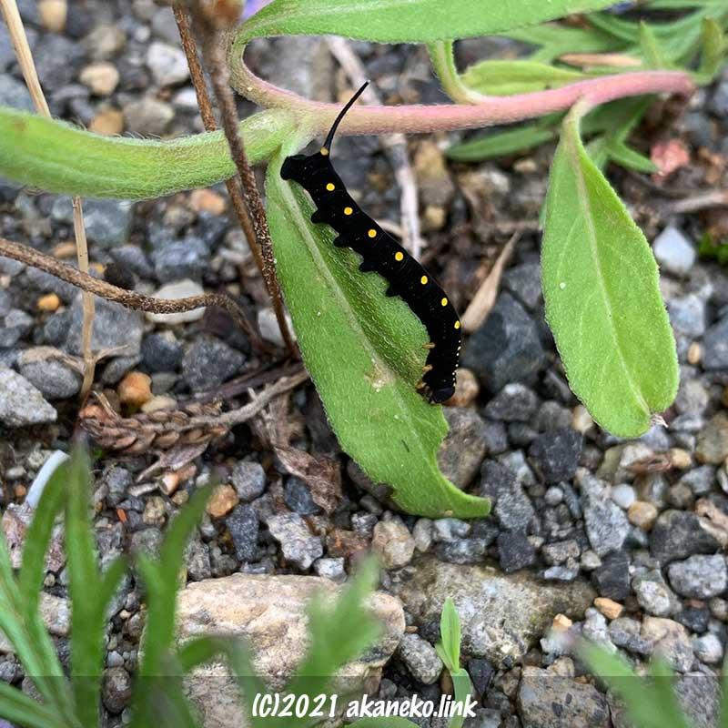 コマツヨイグサを食べる綺麗な黒い芋虫(セスジスズメの幼虫)