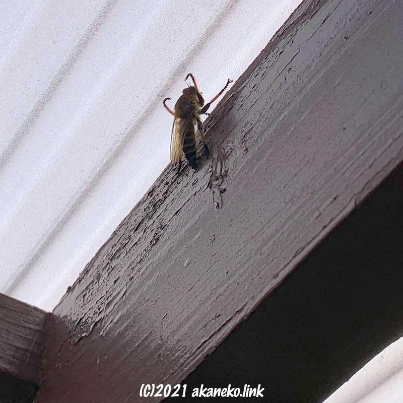 ウッドデッキの屋根の内側で出口を探すメスのシオヤアブ