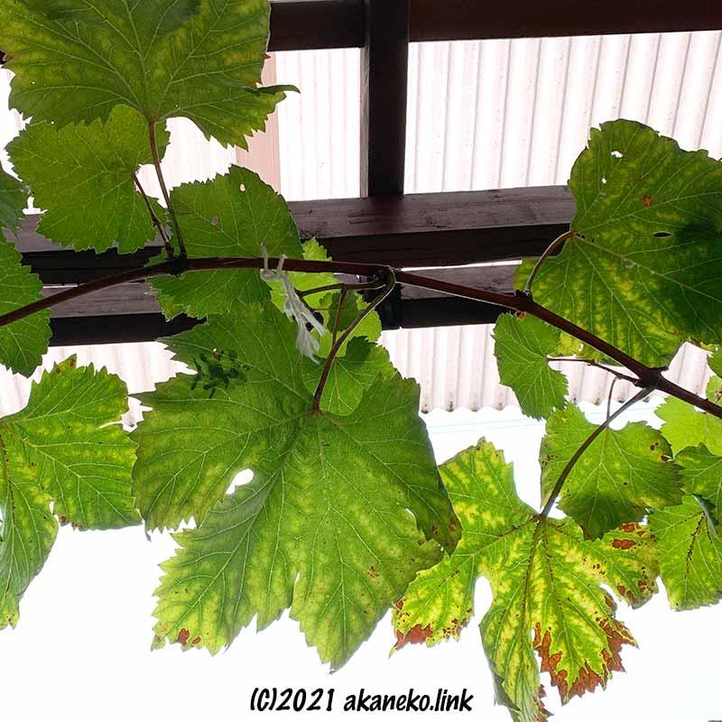 ウッドデッキの屋根に誘引した葡萄の枝