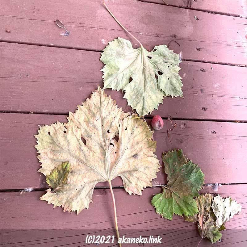 ウッドデッキに落ちた葡萄の葉と鳥の羽