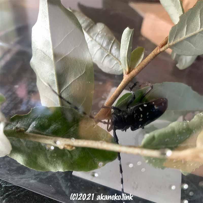 飼育容器の中でロシアンオリーブの枝につかまるゴマダラカミキリ