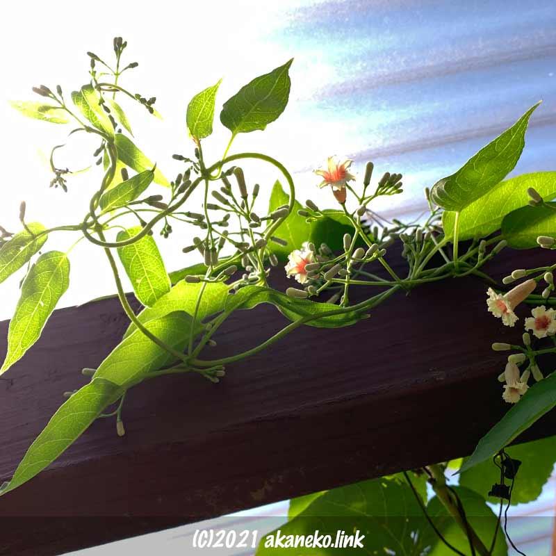 ウッドデッキの屋根で咲くヘクソカズラ