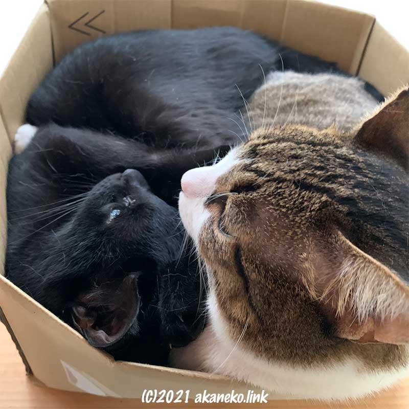 段ボールにギチギチになって収まる2匹の猫