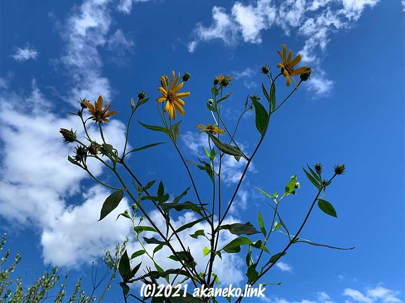秋空とキクイモの花