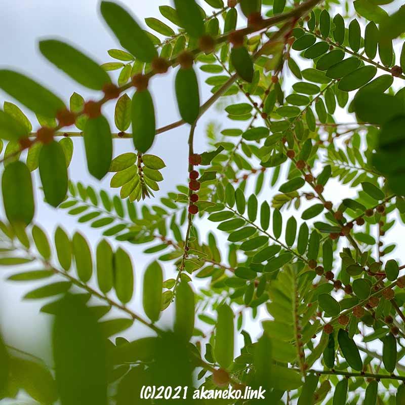 下から見上げたコミカンソウの葉