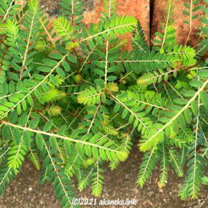 緑鮮やかなコミカンソウの葉