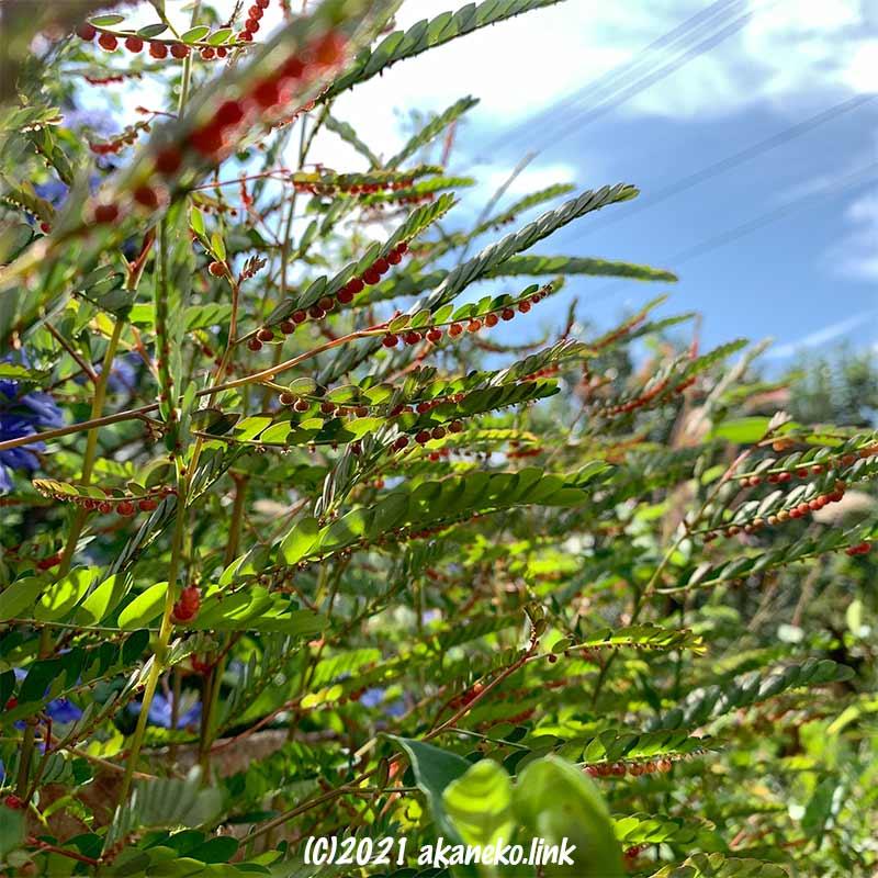 秋空にコミカンソウの赤い実の連なり