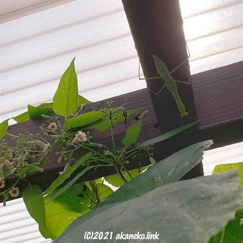 ウッドデッキの屋根にカマキリの終齢幼虫