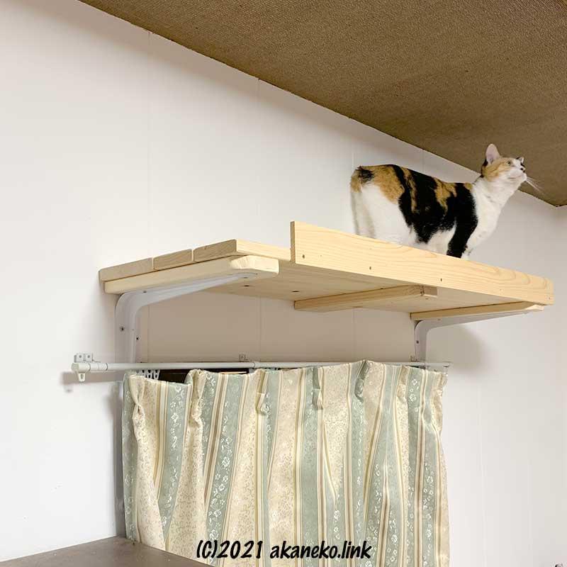 天井近くの猫棚に初乗りした三毛猫