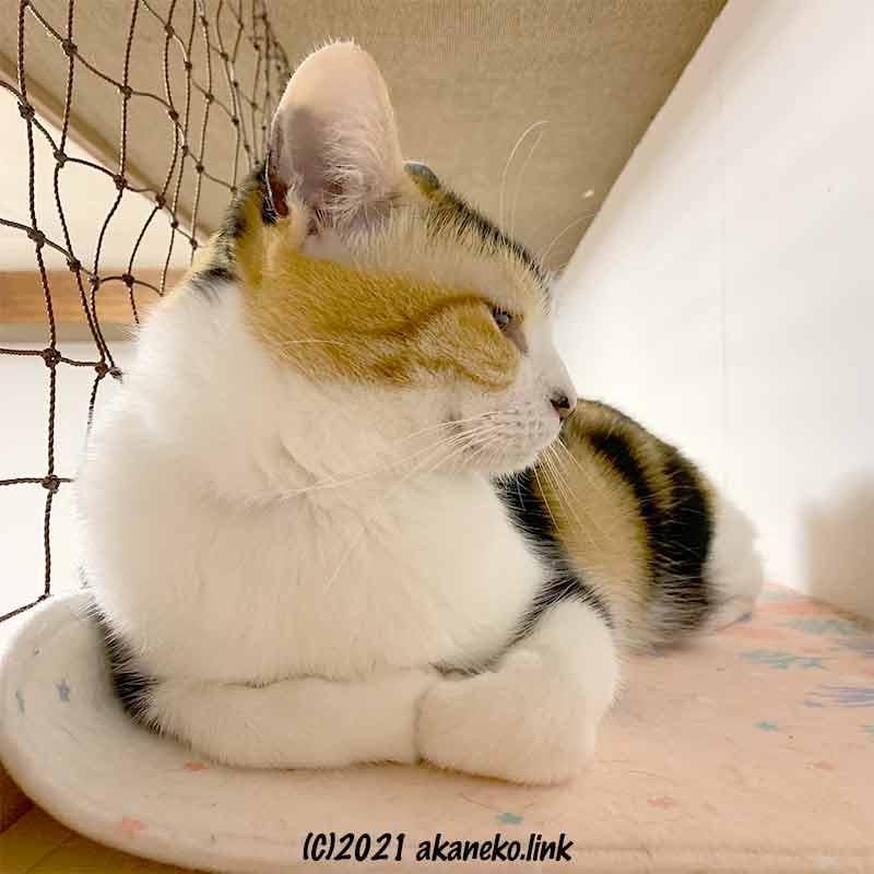 天井近くの猫棚で寛ぐ三毛猫の横顔