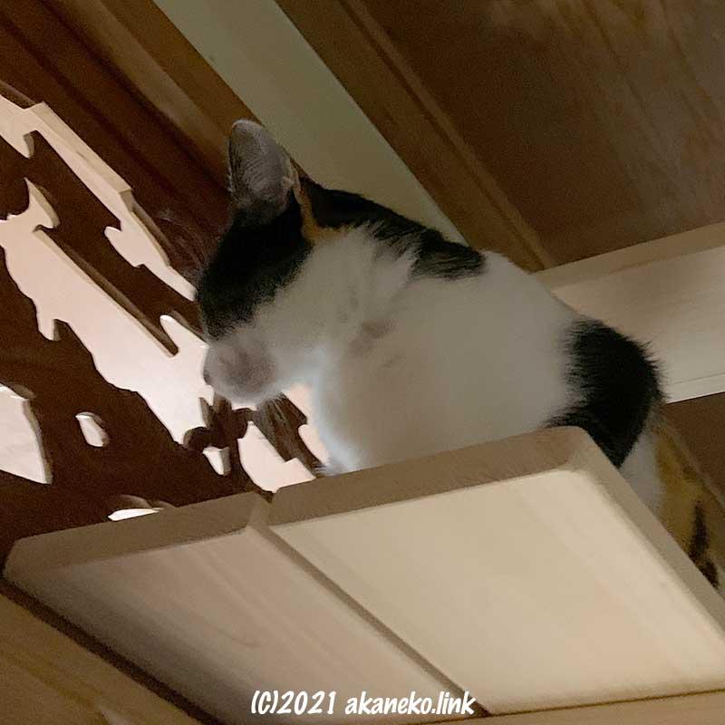 キャットウォーク付きの欄間から覗き見する三毛猫みかん