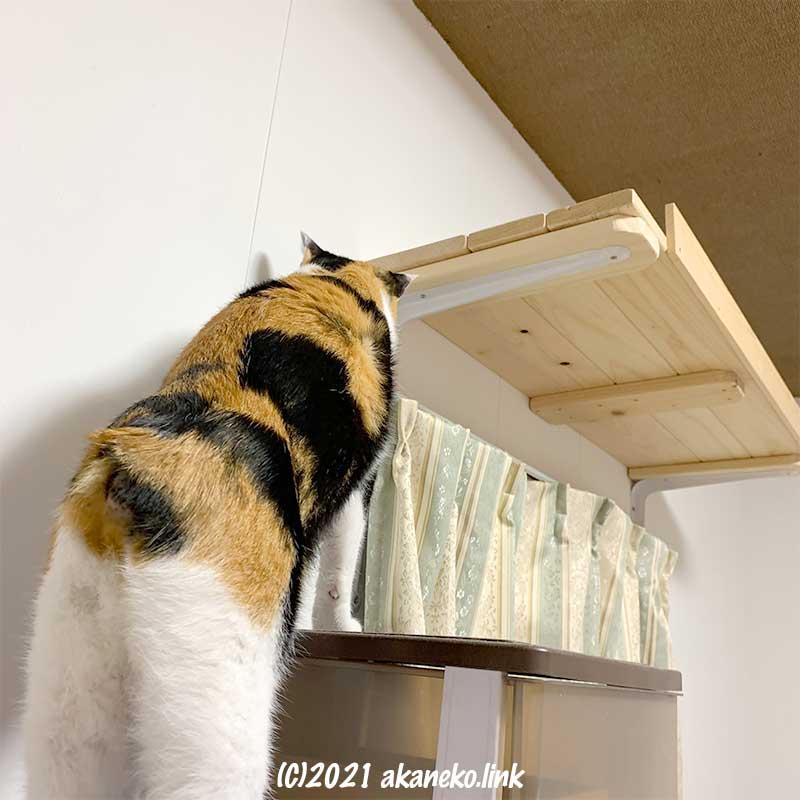 新作猫棚に興味津々の三毛猫