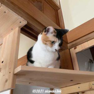 手作りキャットステップの上の三毛猫