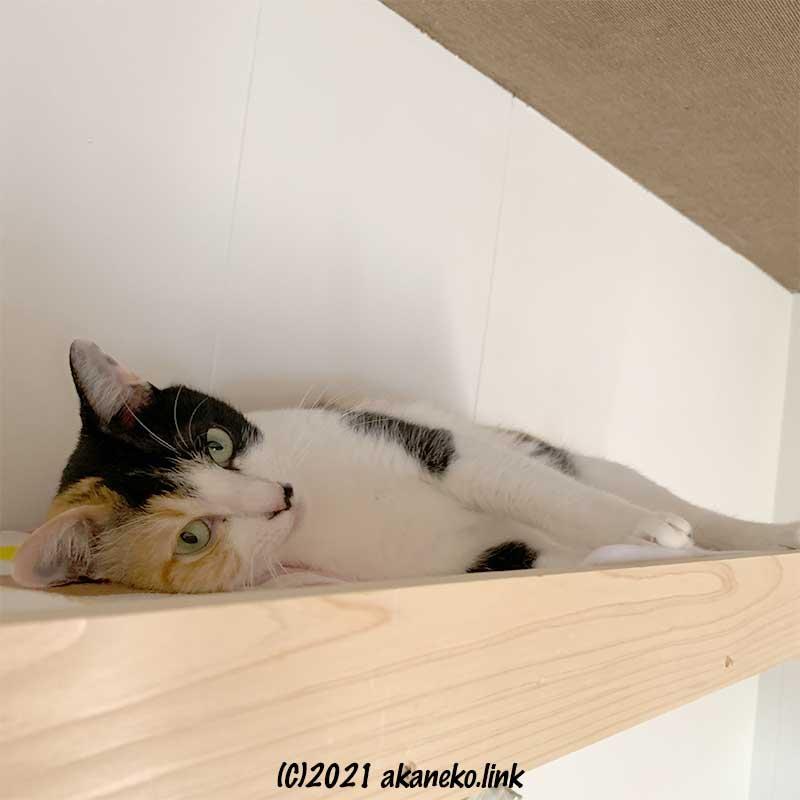 天井近くの猫棚の三毛猫