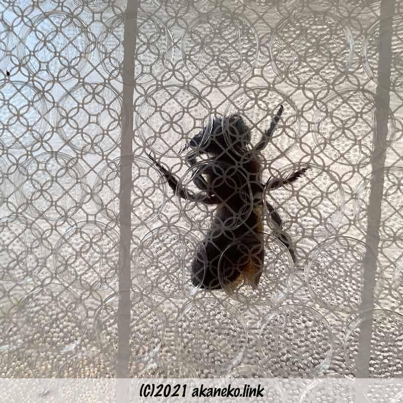 窓と断熱シートの間でもがくオオハキリバチ