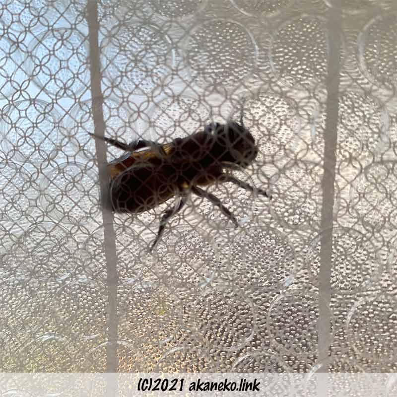 断熱シートと窓ガラスに挟まれたオオハキリバチ