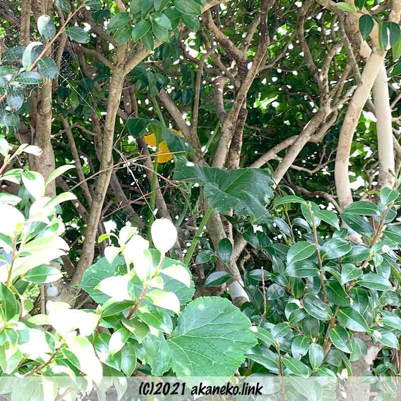 椿の木に登っていくカボチャのツル