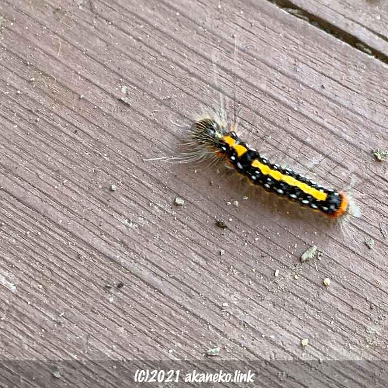 モンシロドクガによく似た毛虫(リンゴケンモン幼虫)