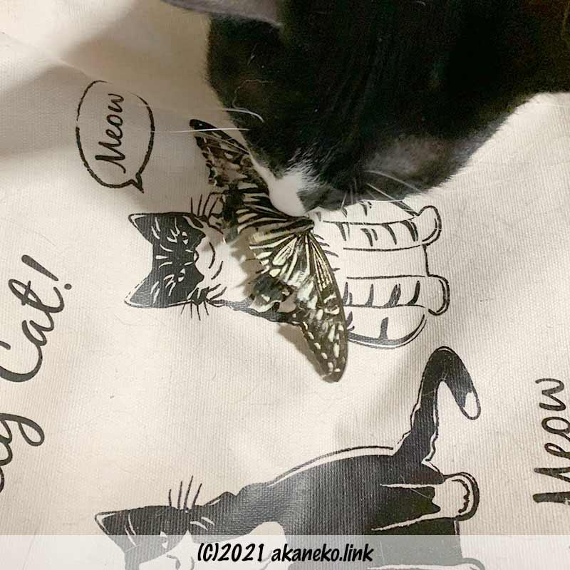 アゲハチョウを捕獲した猫
