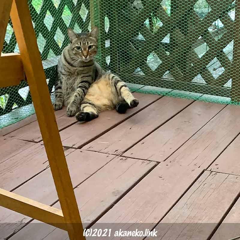 猫小屋の網に持たれてカメラ目線の猫