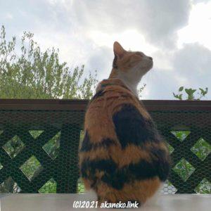 猫小屋の三毛猫、外の気分を満喫中