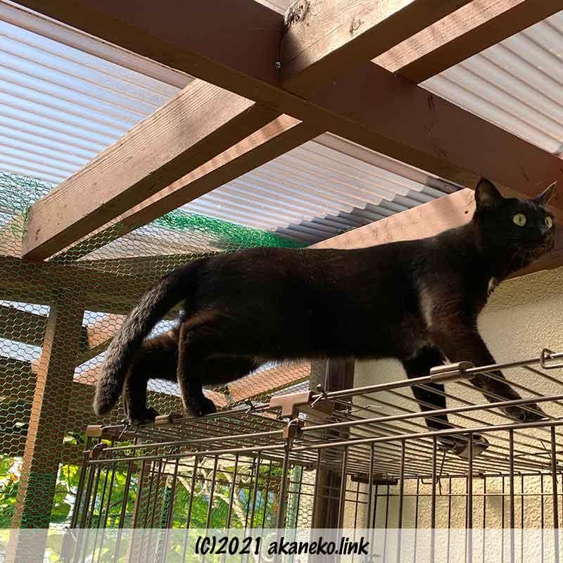 ケージの天井を歩く黒猫