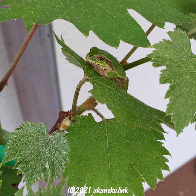 鉢植えの葡萄に住みついたニホンアマガエル